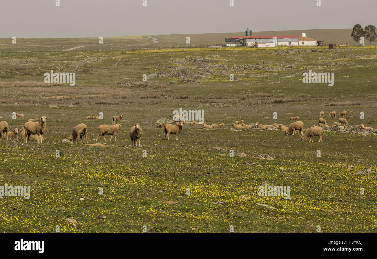 Merino sheep grazing on the flowery grassy plains of La Serena, in early spring;  Extremadura, West Spain. - Stock Image