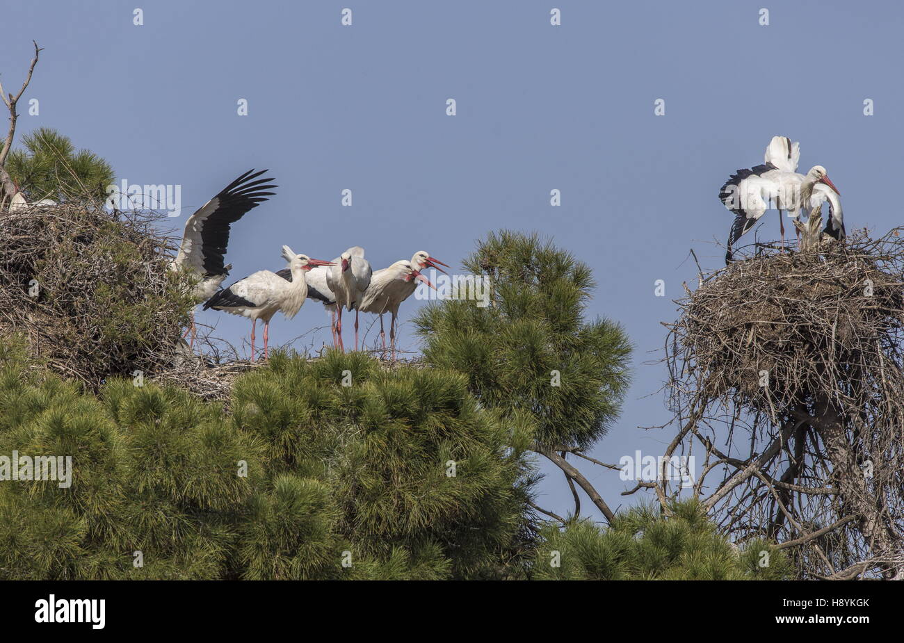 Breeding colony of White Storks, Ciconia ciconia, in old pines, Extremadura, South-West Spain - Stock Image