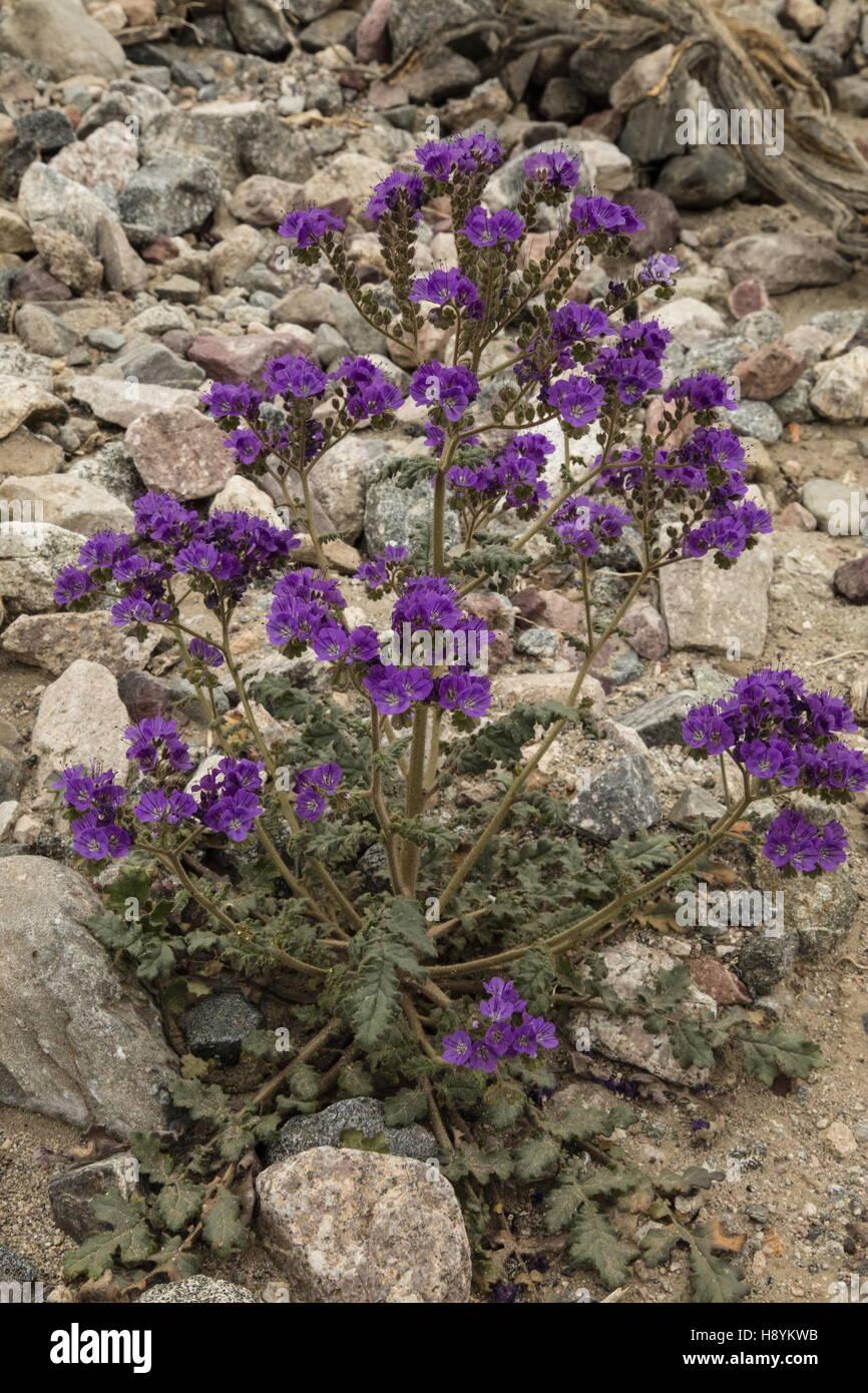 Notch-leaved phacelia, Phacelia crenulata in flower, Death Valley, in spring. California. Stock Photo