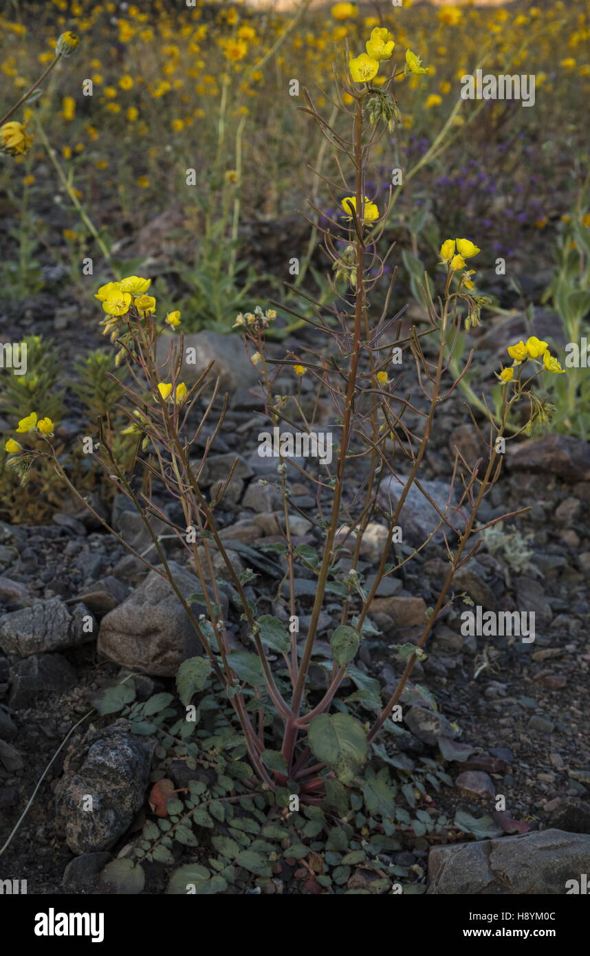 Yellow cups or golden suncup, Chylismia brevipes in flower in Death Valley, California. - Stock Image
