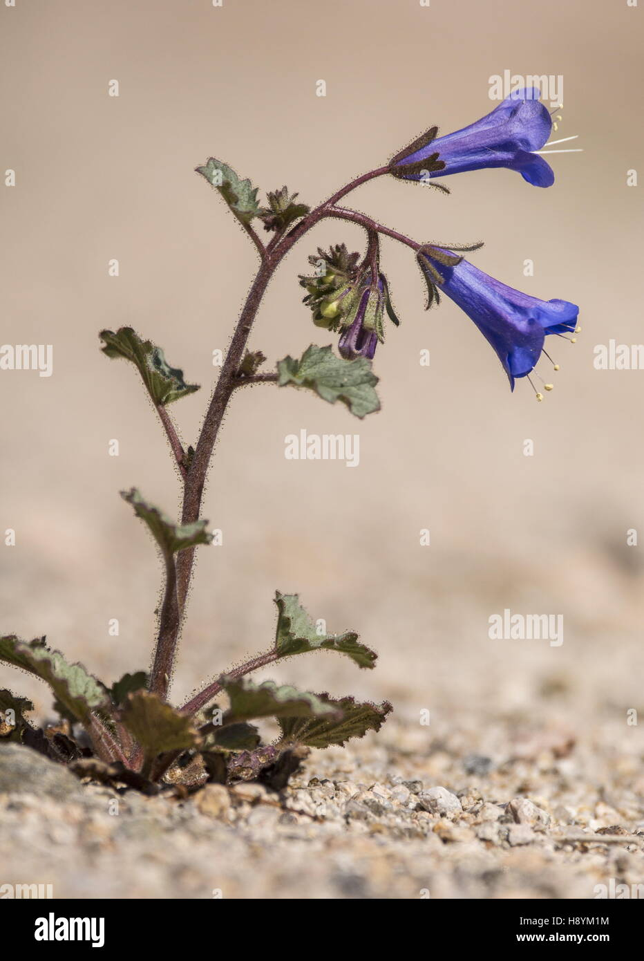 Desert Canterbury Bells, Phacelia campanularia, in flower on gravelly desert wash, Joshua Tree National Park, California. - Stock Image