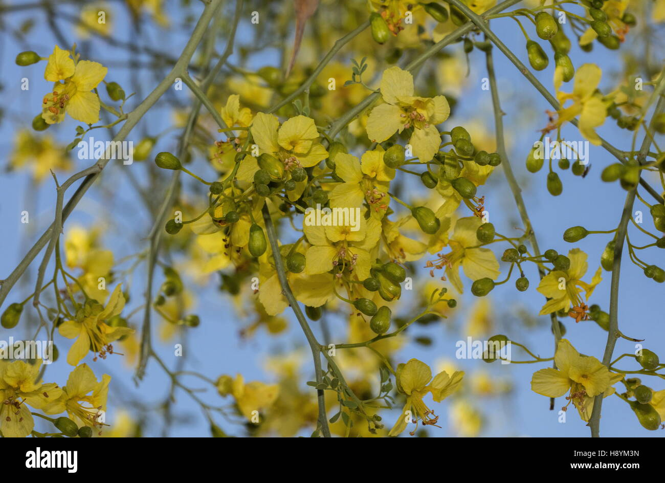 Yellow desert shrub stock photos yellow desert shrub stock images blue palo verde tree parkinsonia florida in flower on river wash sonoran mightylinksfo