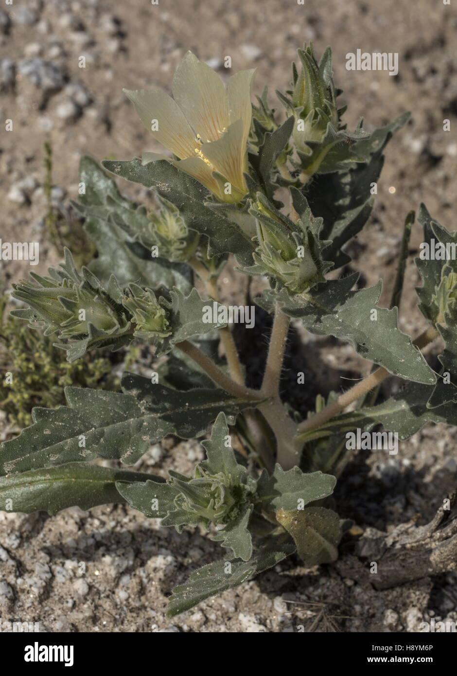 Sand Blazing Star Mentzelia Involucrata In Flower In The Sonoran