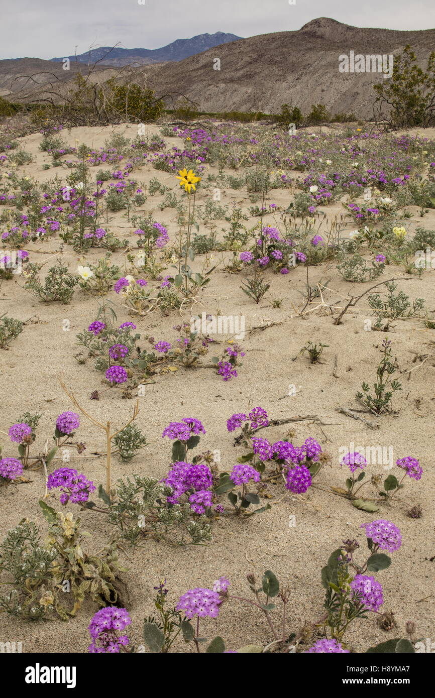 Flowery sand-dunes with Sand Verbena, Abronia villosa and Dune evening primrose in flower in Anza-Borrego, Sonoran - Stock Image