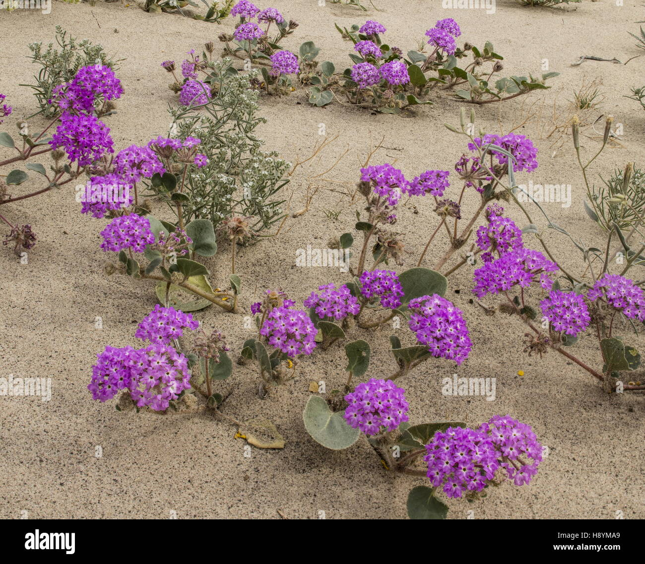 Flowery sand-dunes with Sand Verbena, Abronia villosa and in flower in Anza-Borrego, Sonoran desert, Calif - Stock Image
