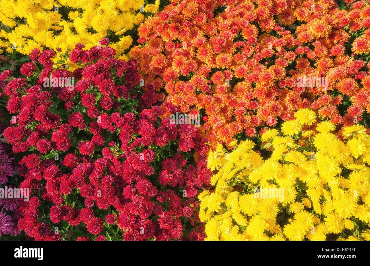 Colorful Autumn Mums or Chrysanthemum flowers - Stock Image
