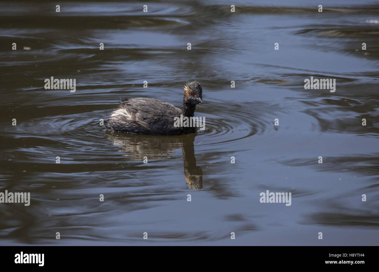 black-necked grebe, Podiceps nigricollis, in spring, in freshwater lake; transition plumage. California. - Stock Image