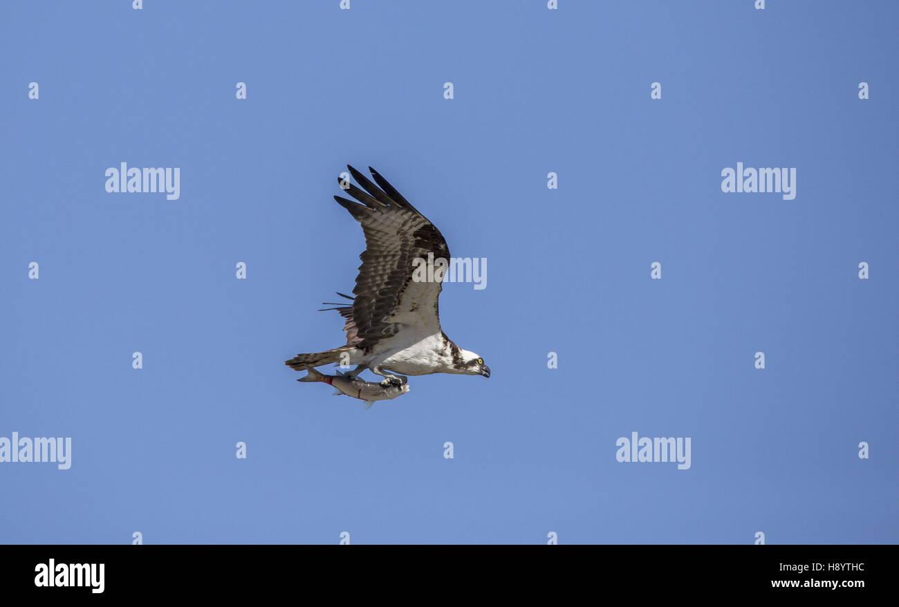 Osprey, Pandion haliaetus, in flight carrying fish. Winter. - Stock Image