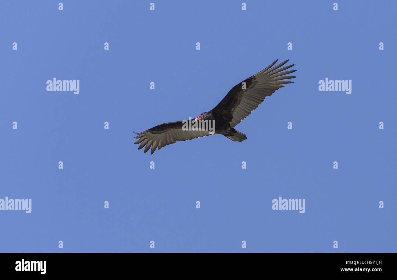 Turkey Vulture, Cathartes aura, in flight. - Stock Image