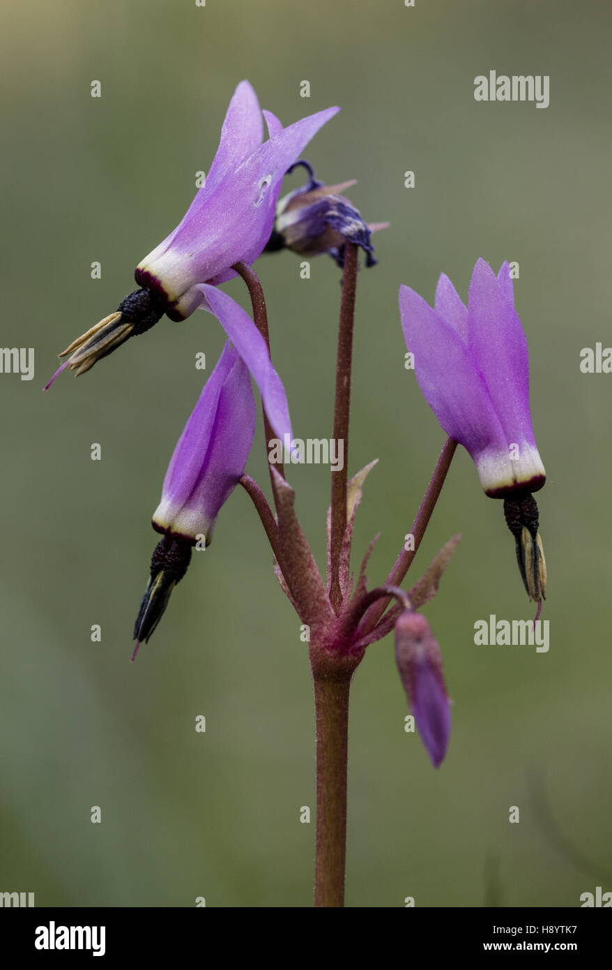 Henderson's Shooting Star, Dodecatheon hendersonii,  Mosquito Bills, broad-leaved shooting star, sailor caps, - Stock Image