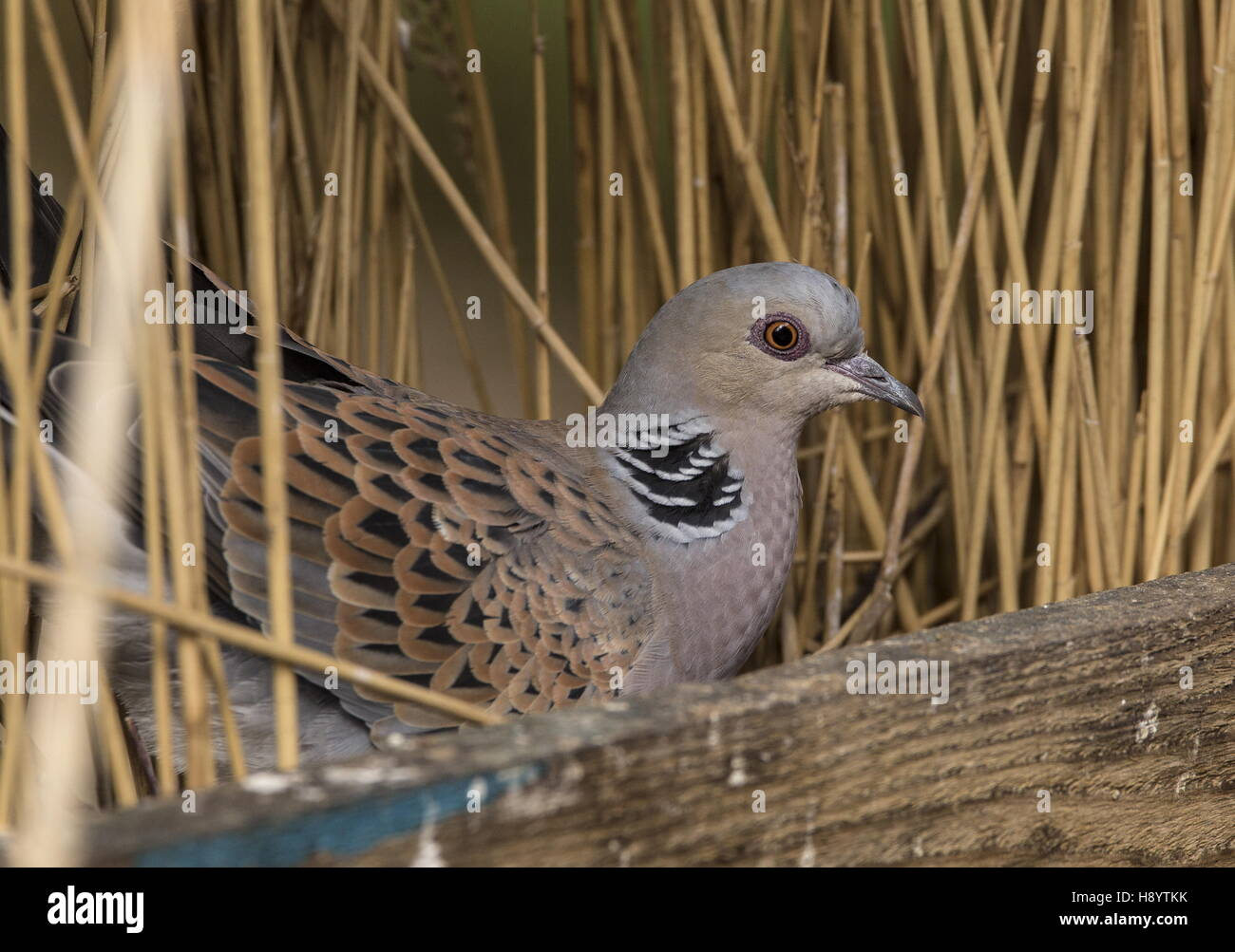 Turtle Dove, Streptopelia turtur; uncommon and decreasing summer migrant. Norfolk. - Stock Image