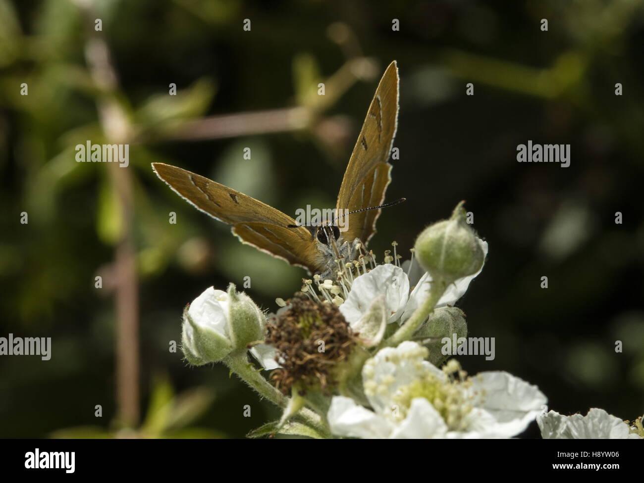 Brown Hairstreak butterfly, Thecla betulae feeding on Bramble blossom - Stock Image