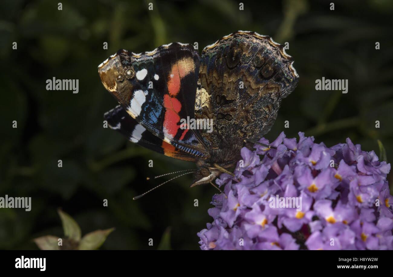 Red Admiral, Vanessa atalanta feeding on Buddleia flowers. - Stock Image