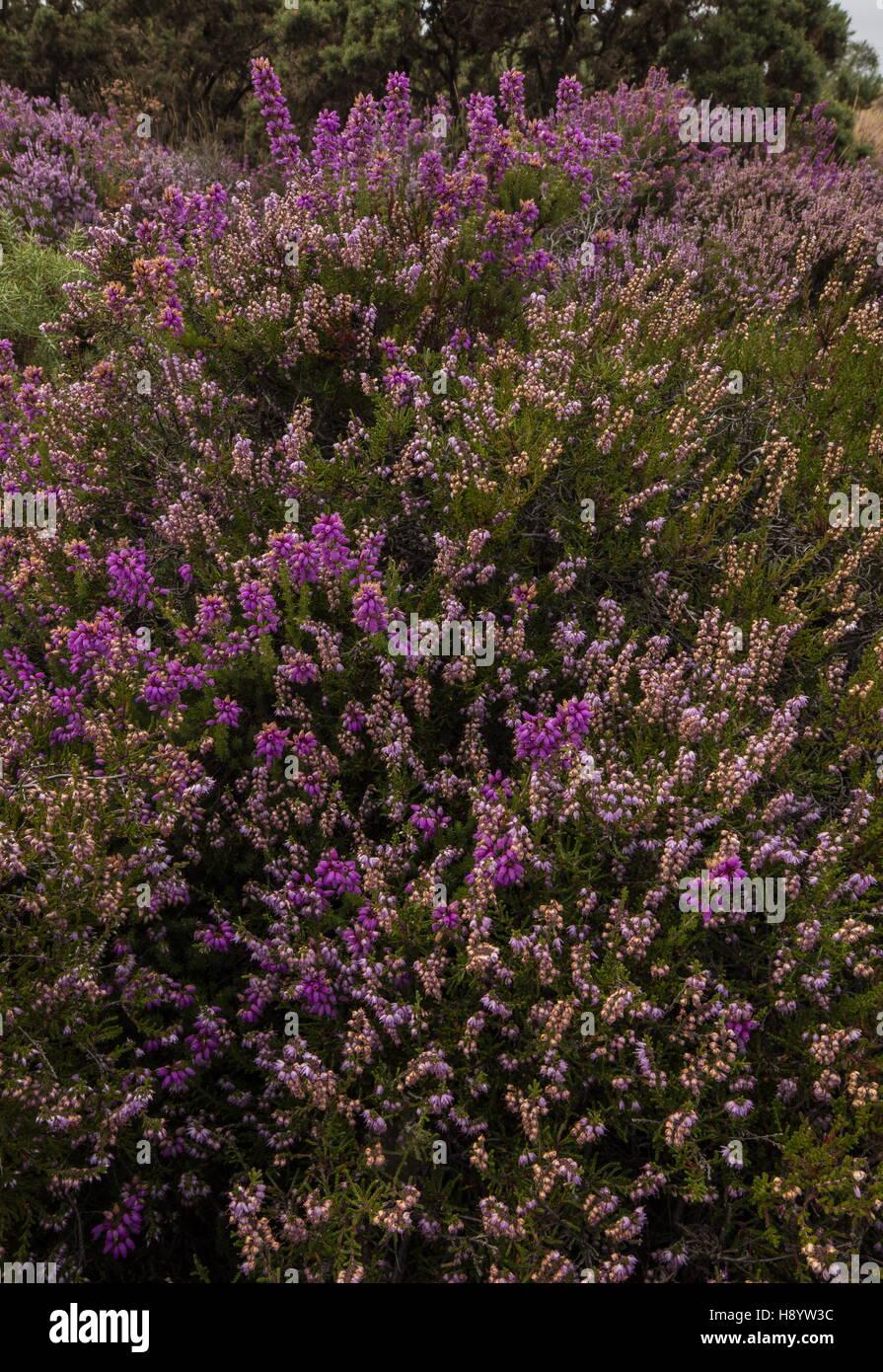 Dorset Heathland - Bell Heather, Erica cinerea, and Heather Calluna vulgaris, Hartland Moor, Dorset. Stock Photo