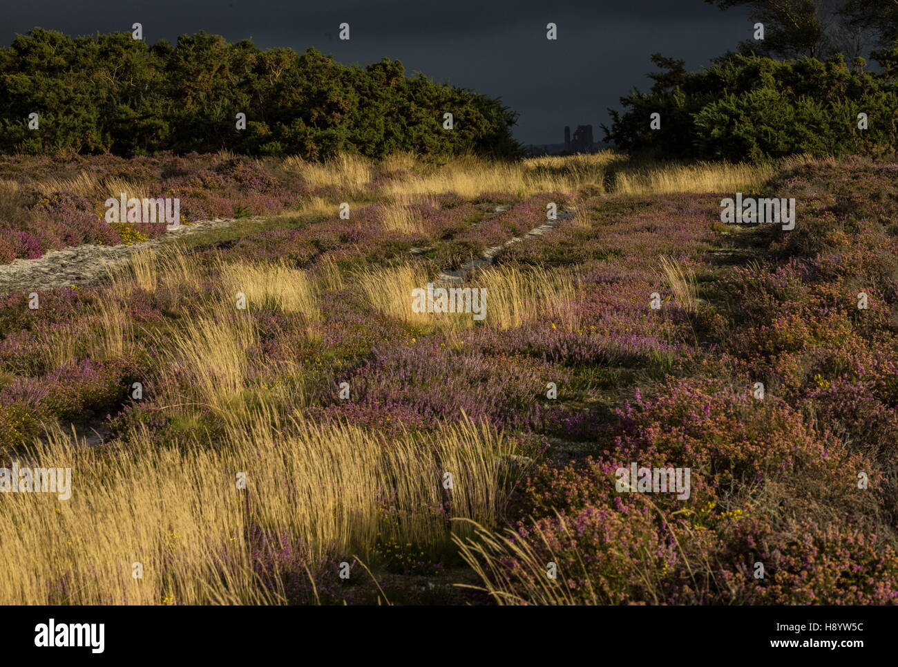 Corfe Castle from Middlebere Heath on a stormy late summer evening. Dorset. - Stock Image