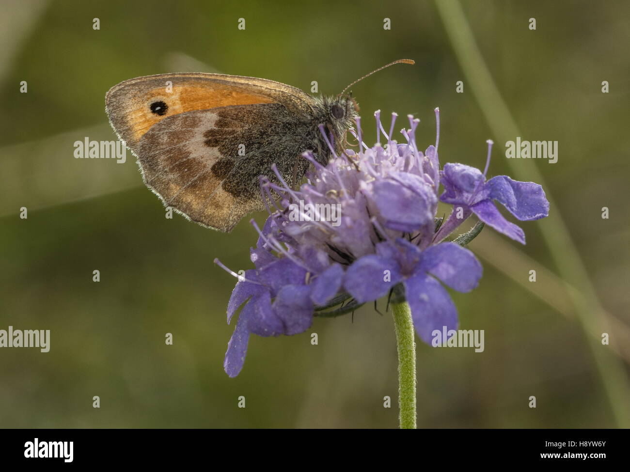 Meadow Brown butterfly, on Field Scabious; chalk downland, Dorset. - Stock Image