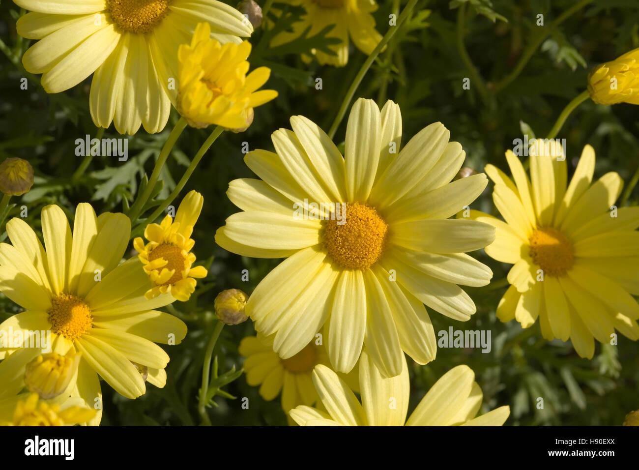 Corn Marigold, Chrysanthemum segetum, flowers Stock Photo