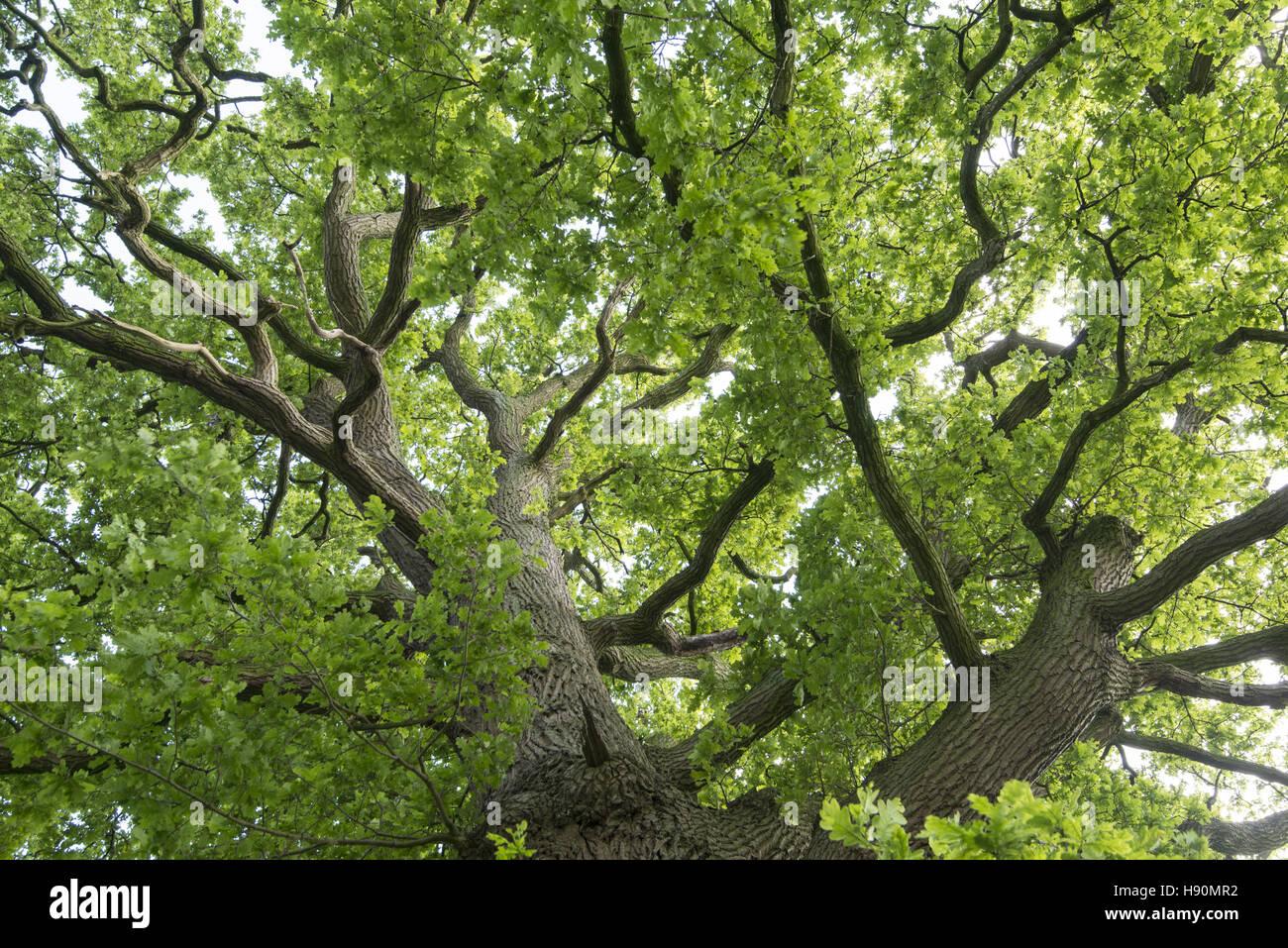 Kst Vechta german oak stock photos german oak stock images alamy