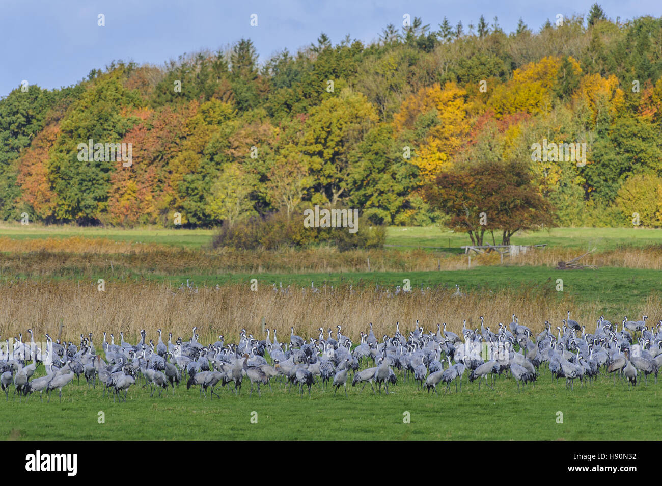 common cranes resting, grus grus, gross mohrdorf, mecklenburg-vorpommern, germany Stock Photo