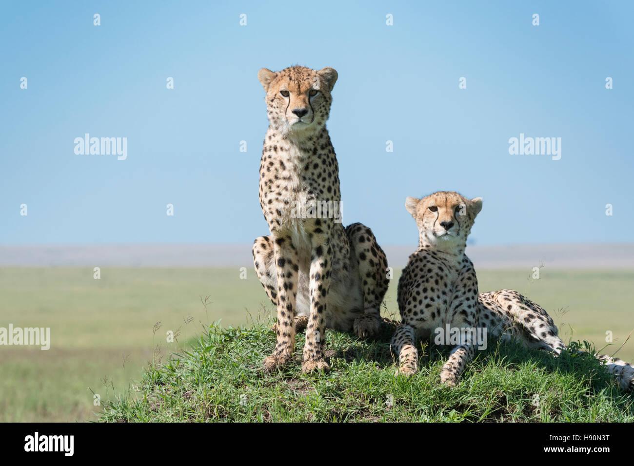 Cheetah (Acinonix jubatus) on hill in savanna, close up, Maasai Mara National Reserve, Kenya - Stock Image