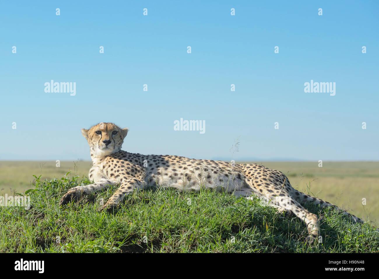 Cheetah (Acinonix jubatus) lying down on hill in savanna, close up, Maasai Mara National Reserve, Kenya - Stock Image