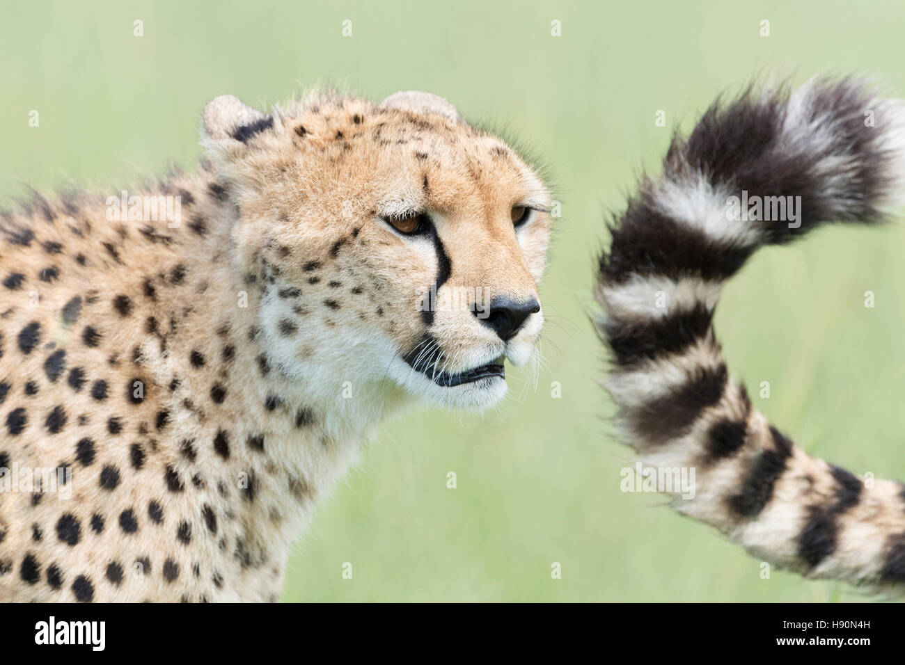 Cheetah (Acinonix jubatus) portrait and tail, Maasai Mara National Reserve, Kenya - Stock Image