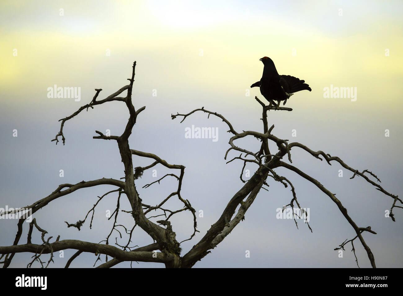 displaying male black grouse, lyrurus tetrix, hamra national park, gävleborgs län, sweden - Stock Image