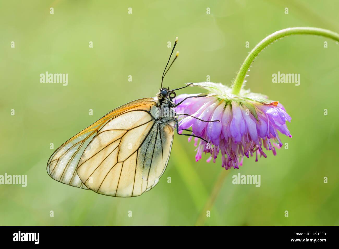 Baum Weissling, Aporia crataegi, Black veined White butterfly - Stock Image