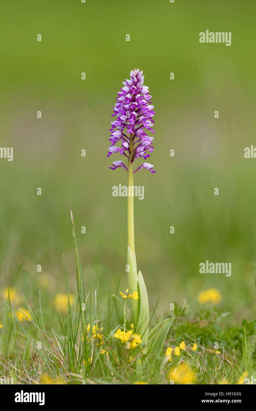 Helm Knabenkraut, Orchis militaris, Military Orchid - Stock Image