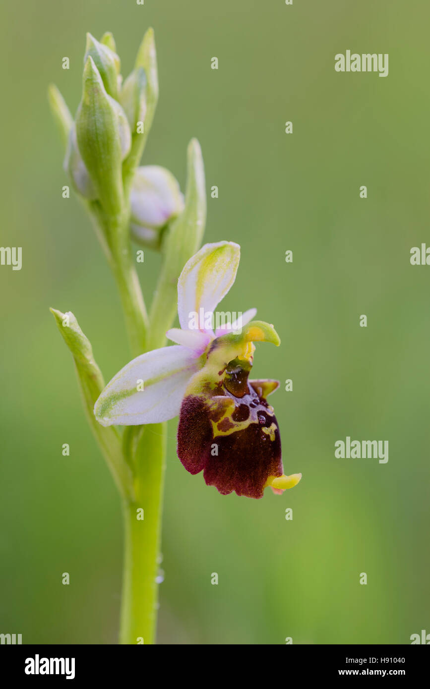 Hummel Ragwurz, Ophrys holoserica, European Ophrys Orchid - Stock Image