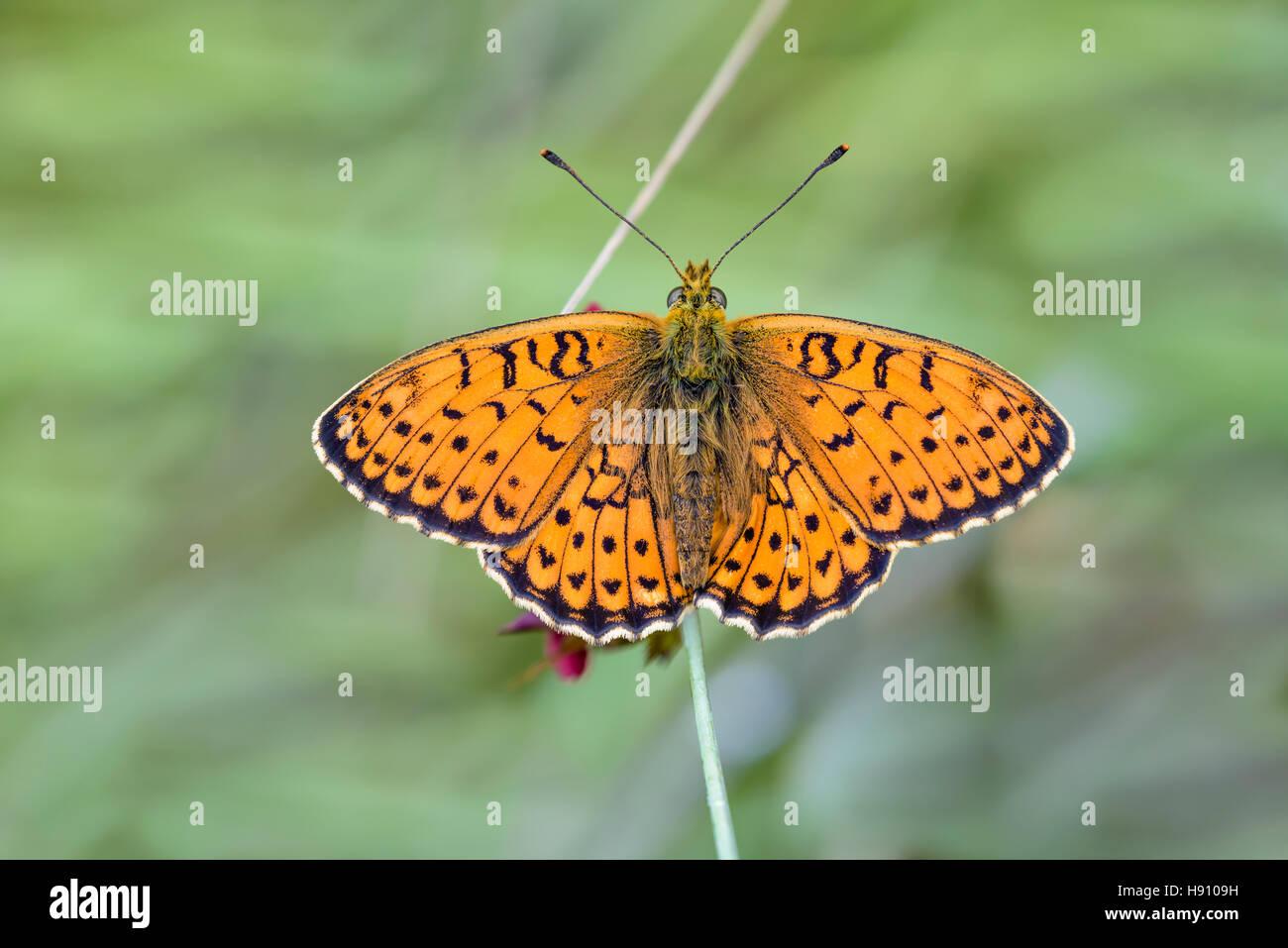 Saumfleck Perlmuttfalter, Brenthis hecate,  twin-spot fritillary - Stock Image