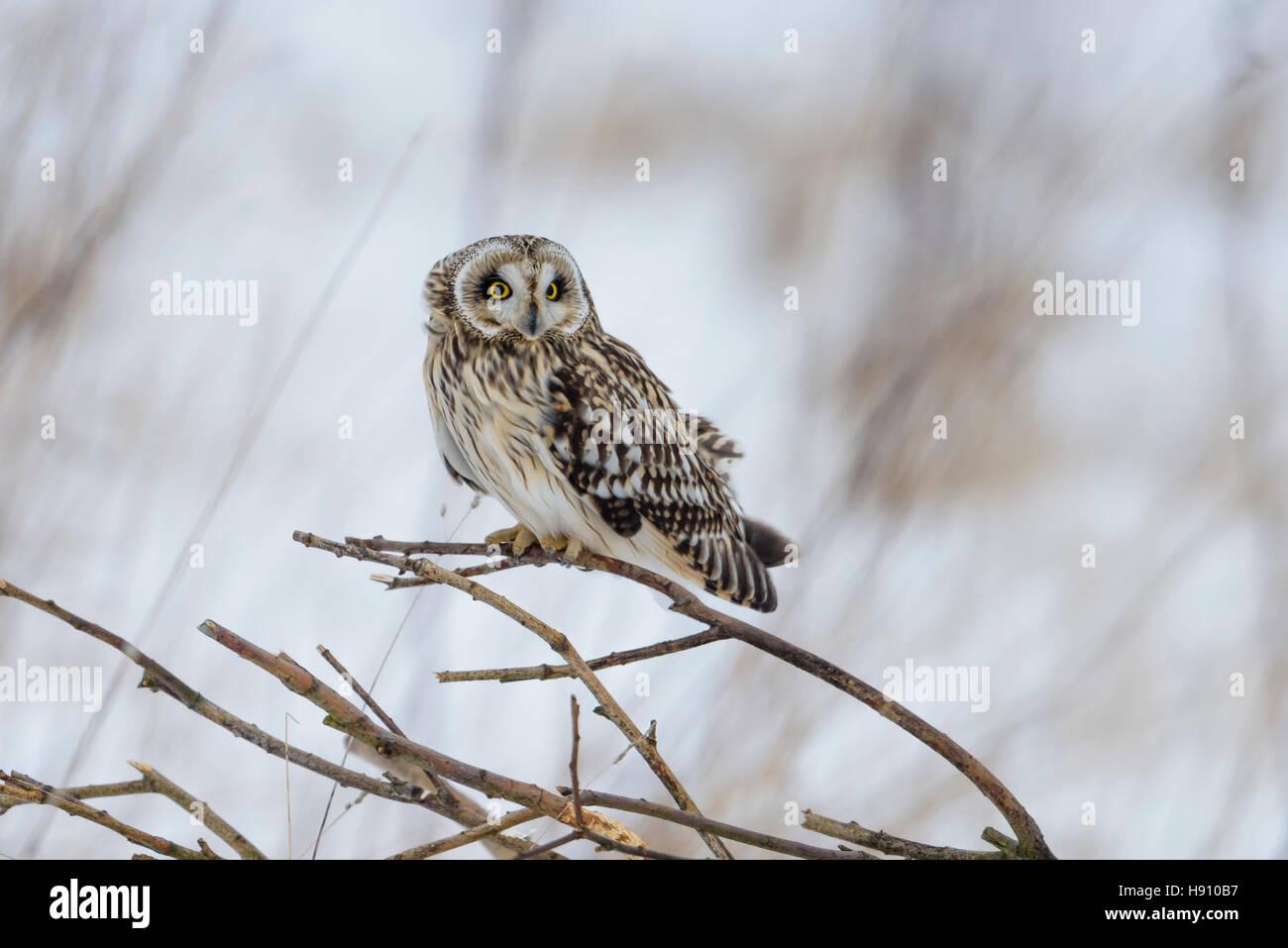 Sumpfohreule, Asio flammeus, Wild Short Eared Owl in winter snow - Stock Image