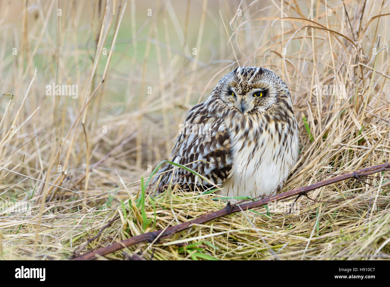 Sumpfohreule, Asio flammeus, Wild Short Eared Owl - Stock Image