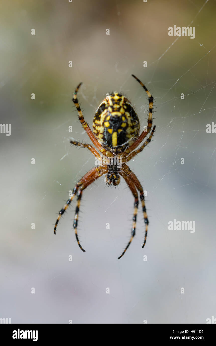 Eichblatt Kreuzspinne, Aculepeira ceropegia, oakleaf orbweaver, oak spider Stock Photo