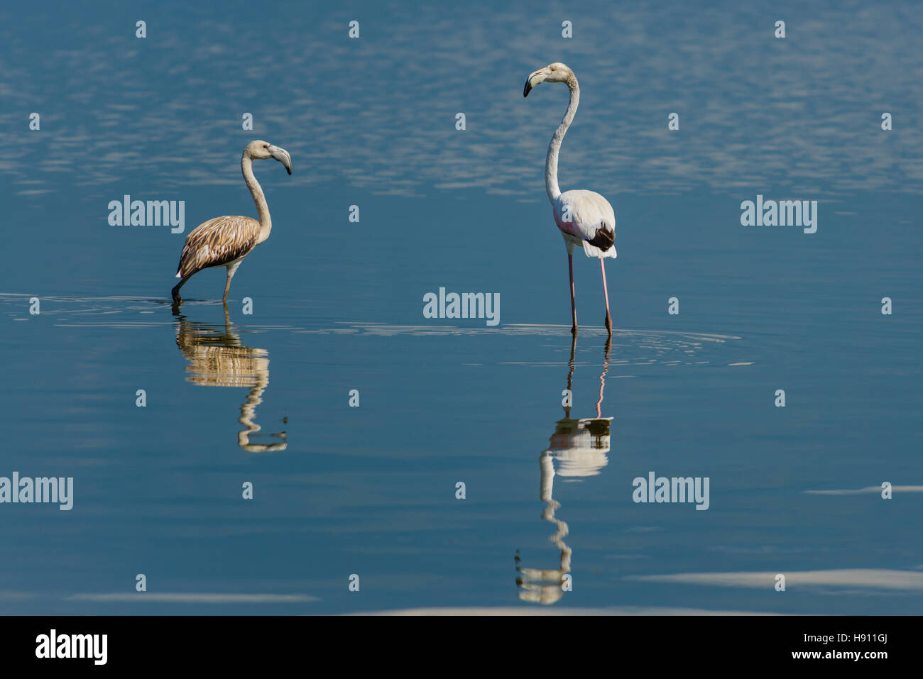 Rosaflamingo, Phoenicopterus roseus, Greater Flamingo Kerkini Lake Stock Photo