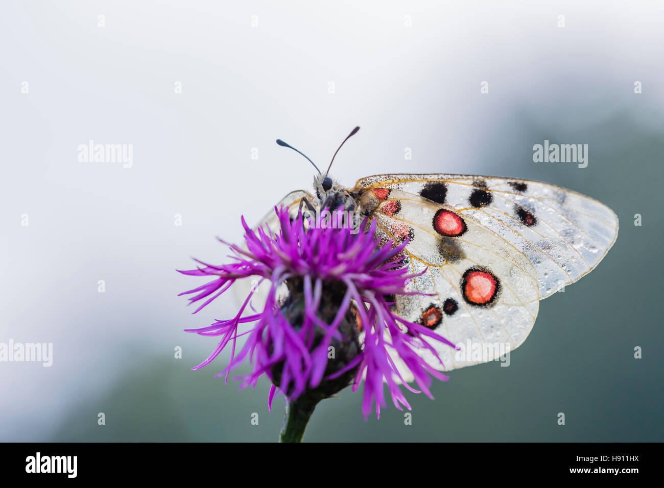 Roter Apollofalter Weibchen, Parnassius apollo lithographicus, Female Apollo Butterfly Stock Photo