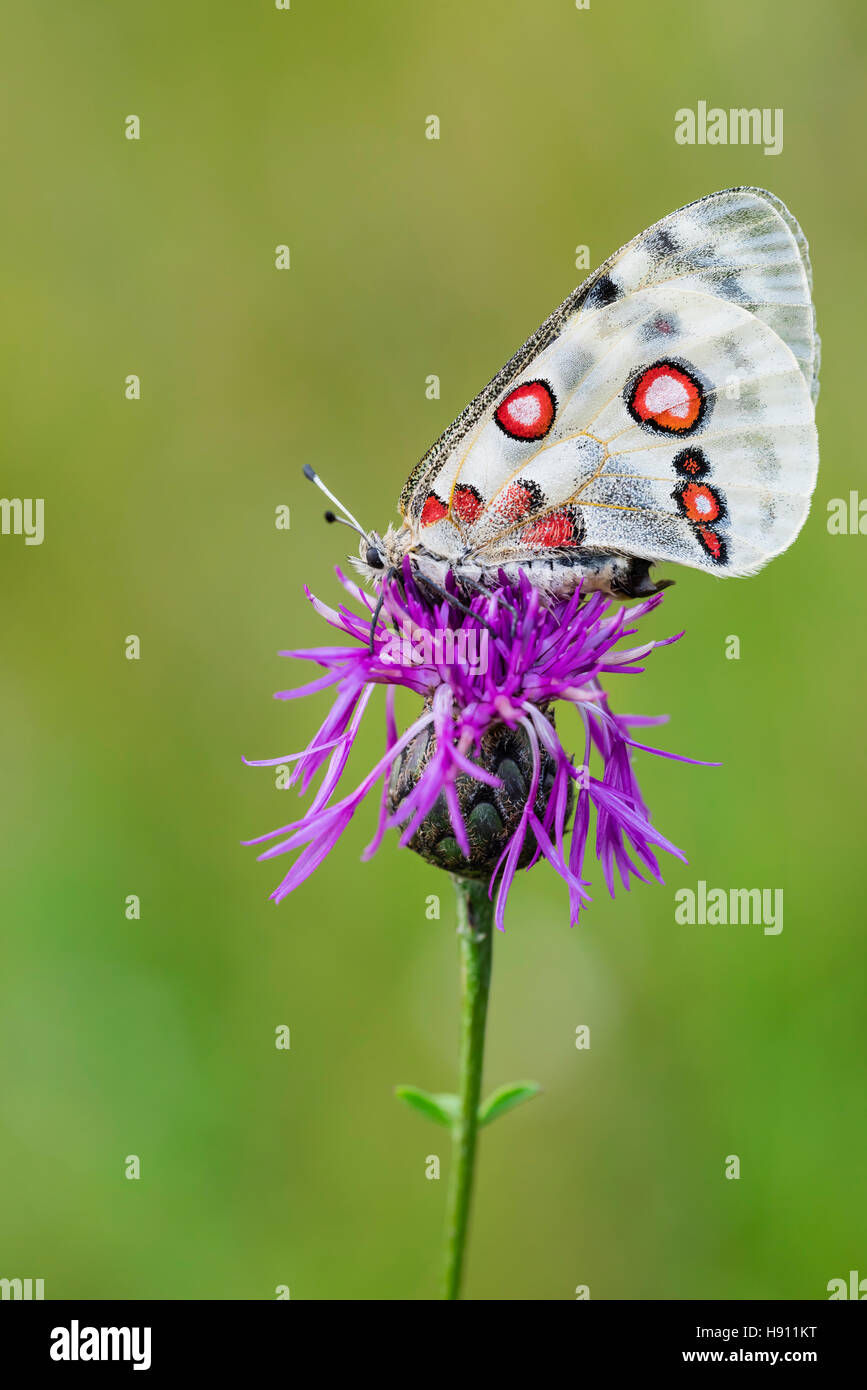 Roter Apollofalter Weibchen, Parnassius apollo lithographicus, Female Apollo Butterfly - Stock Image