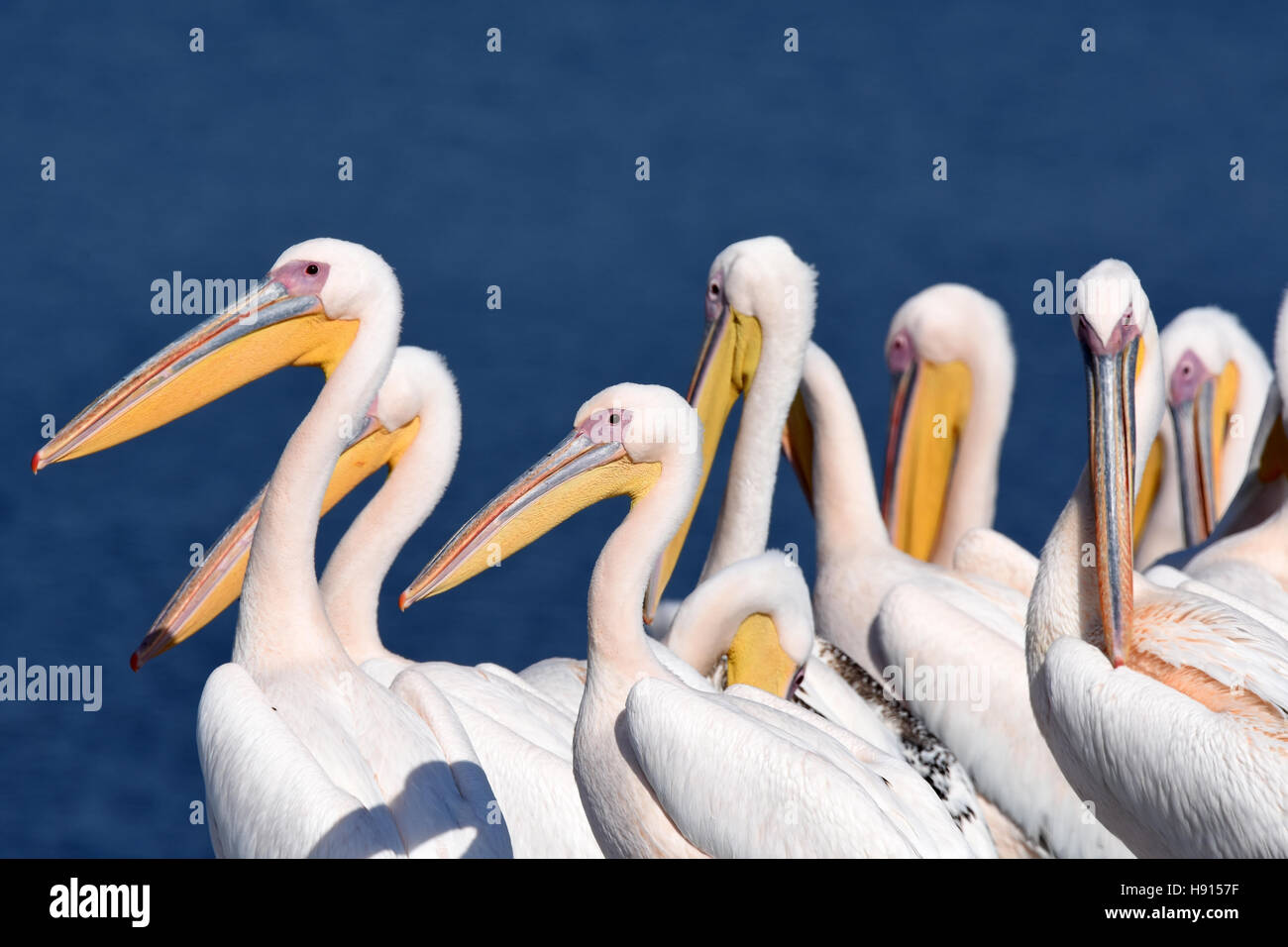 Pelican flock rest on ground - Stock Image