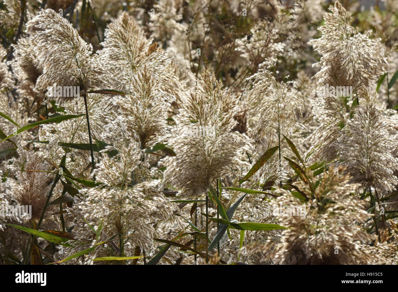 Reed - Stock Image
