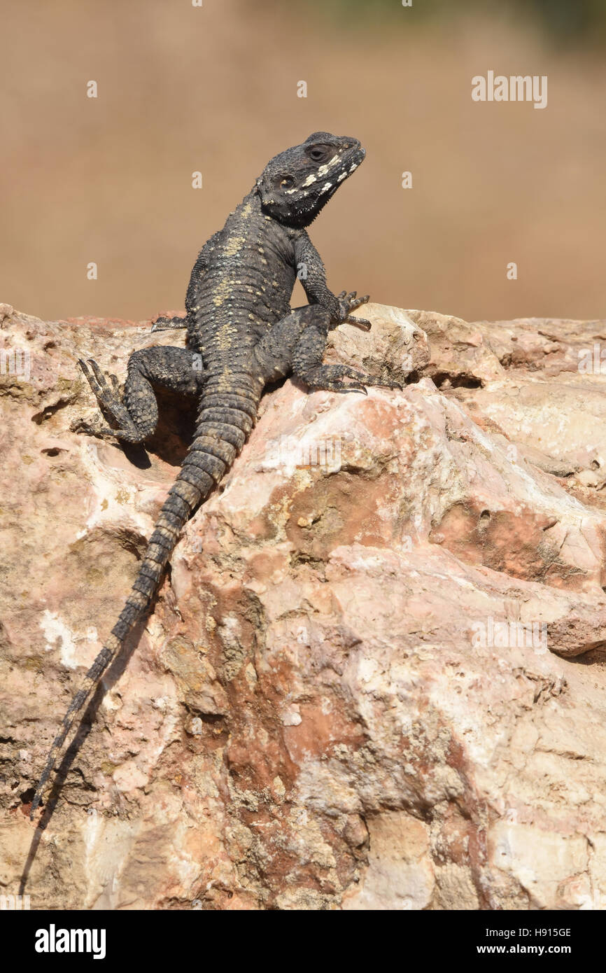 Stellagama lizard basking in the sun - Stock Image