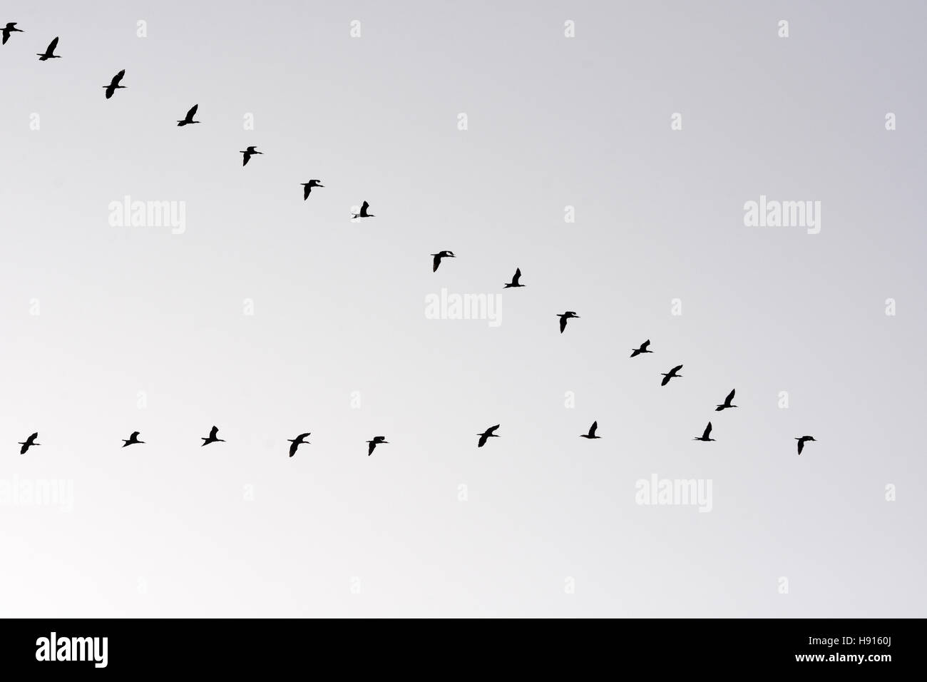 Migration in V formation, Cormorants - Stock Image