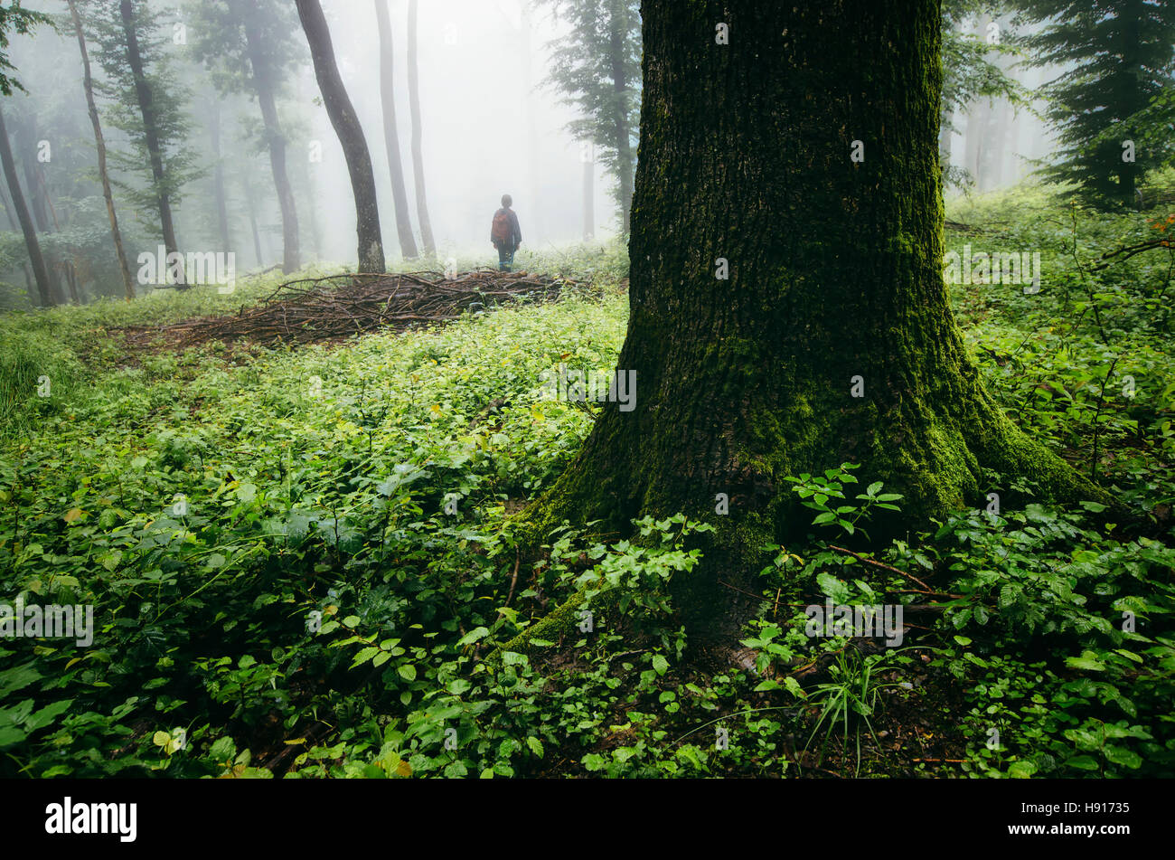 Natural green forest landscape. Man in nature in misty woods with lush vegetation on rainy day - Stock Image