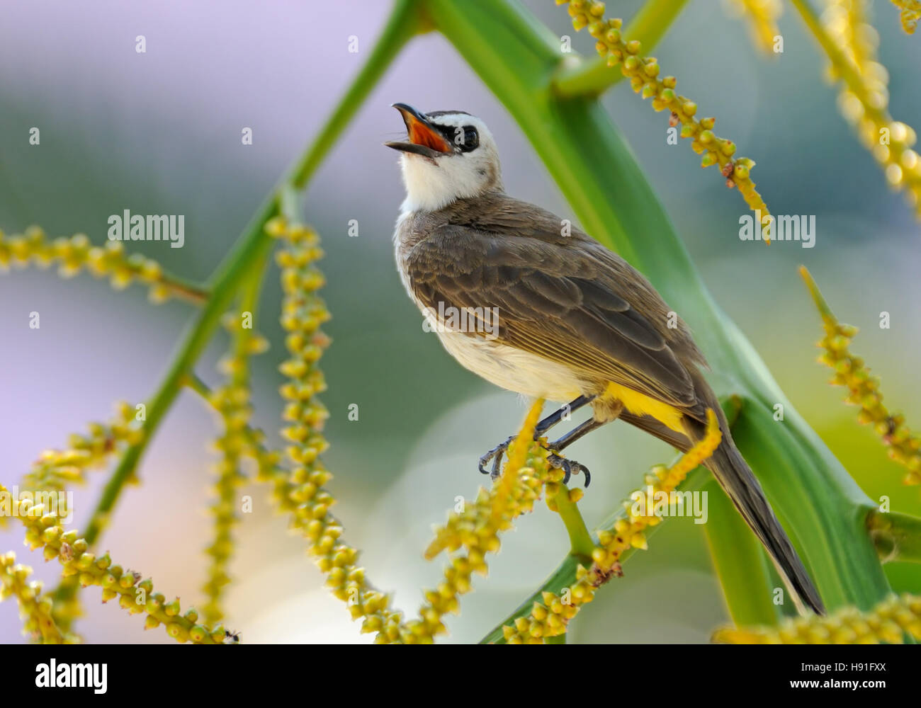 Yellow-vented Bulbul (Pycnonotus goiavier) at berry tree. Phuket island, Thailand Stock Photo