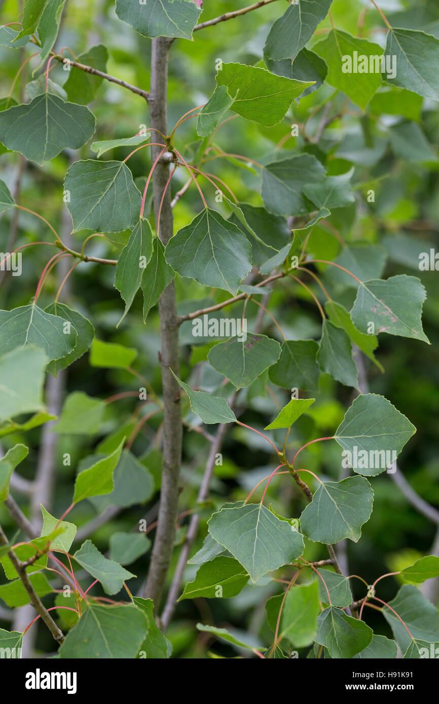 Schwarz-Pappel, Schwarzpappel, Pappel, Saarbaum, Populus nigra, black poplar, black-poplar - Stock Image