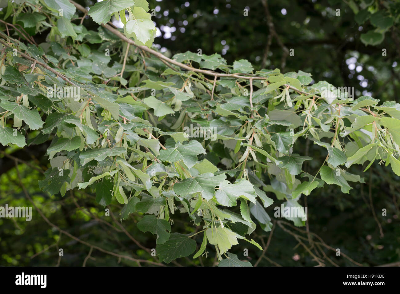 Silber-Linde, Silberlinde, Linde, Tilia tomentosa, Tilia argentea, silver linden, silver lime, Le tilleul argenté, Stock Photo