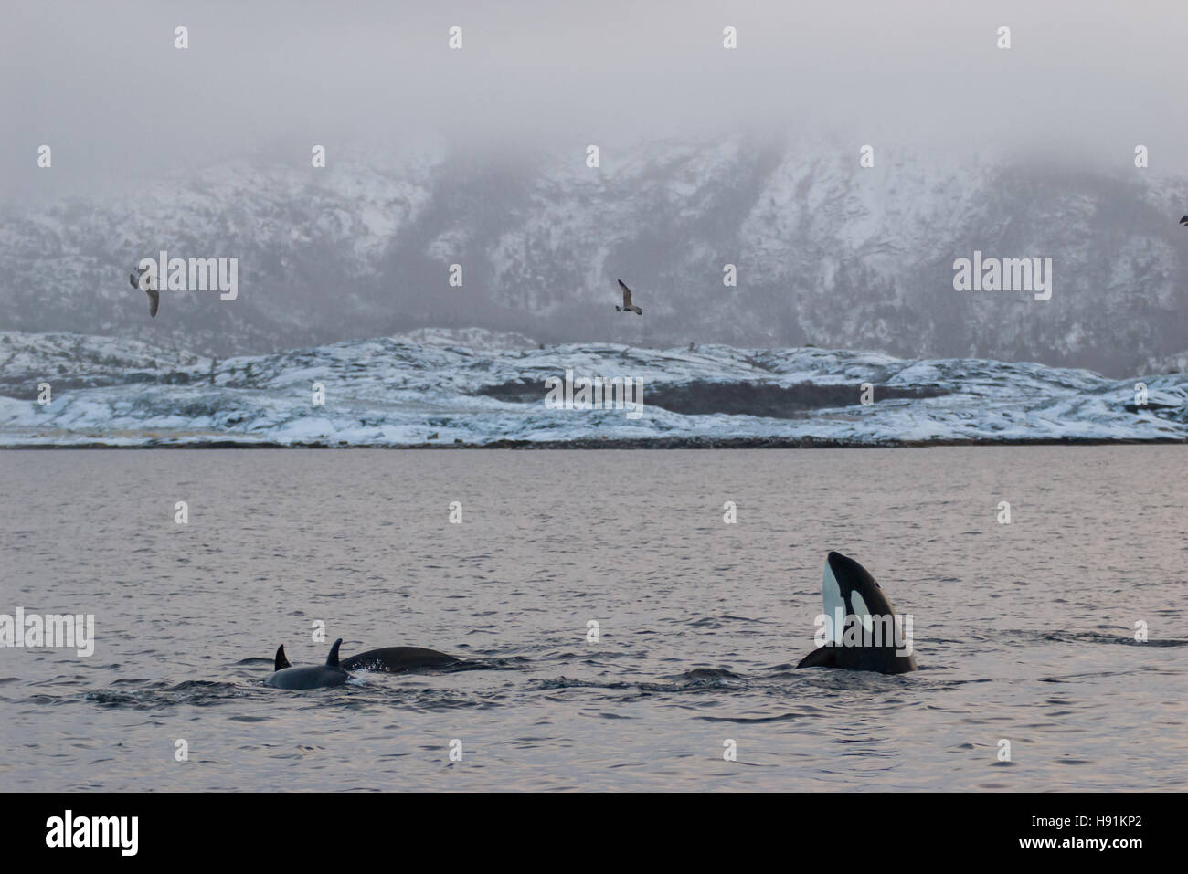Spy hopping orca (Killer whale) in Tysfjord, Norway during winter, with snow on the mountains - Stock Image