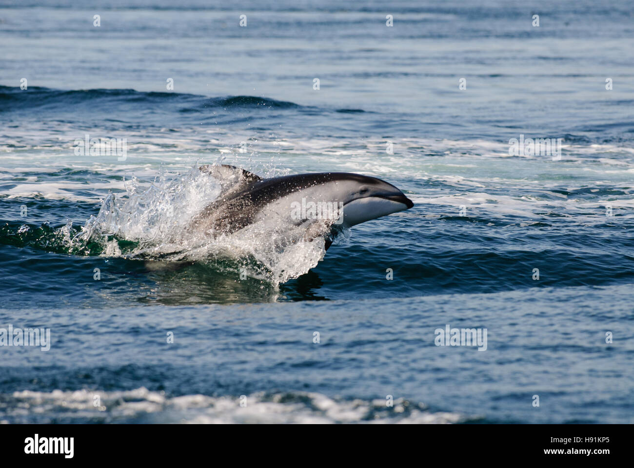 Jumping Pacific Whitesided Dolphin, Discovery Passage, Campbell River, Vancouver Island, Canada - Stock Image