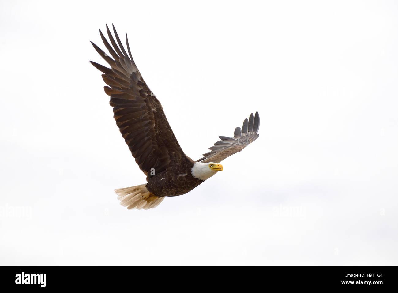 American Bald Eagle, Comox Valley, Vancouver Island, British Columbia, Canada. - Stock Image