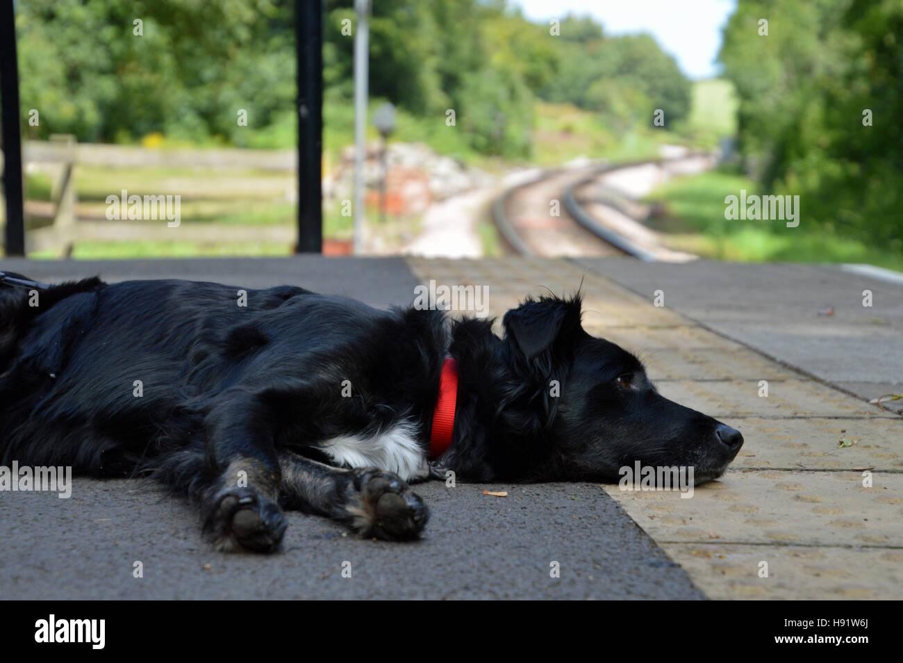 Dog asleep on railway station platform, Greenway Halt, Dartmouth Steam Railway, Devon - Stock Image