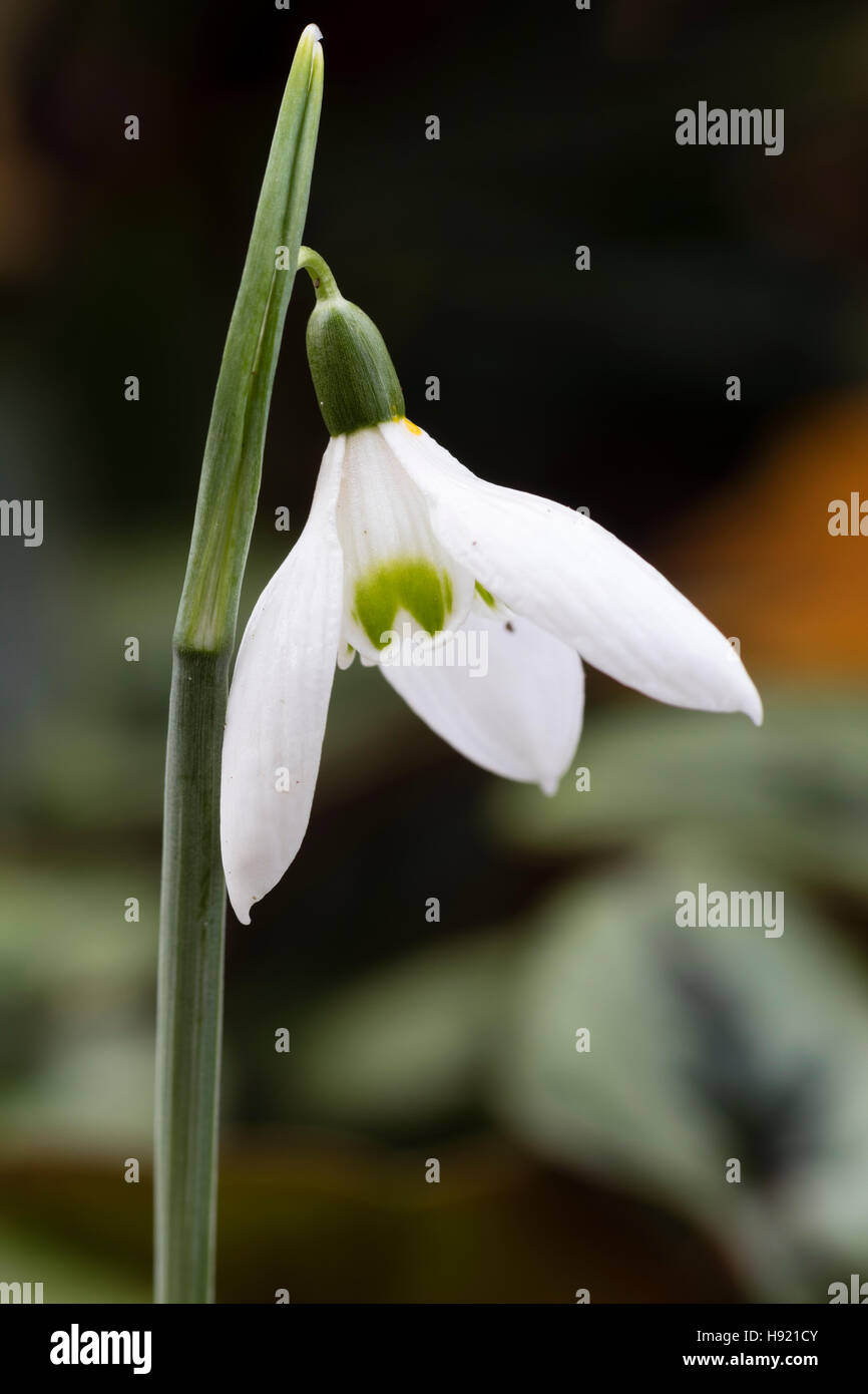 November flower of the species snowdrop, Galanthus reginae-olgae - Stock Image